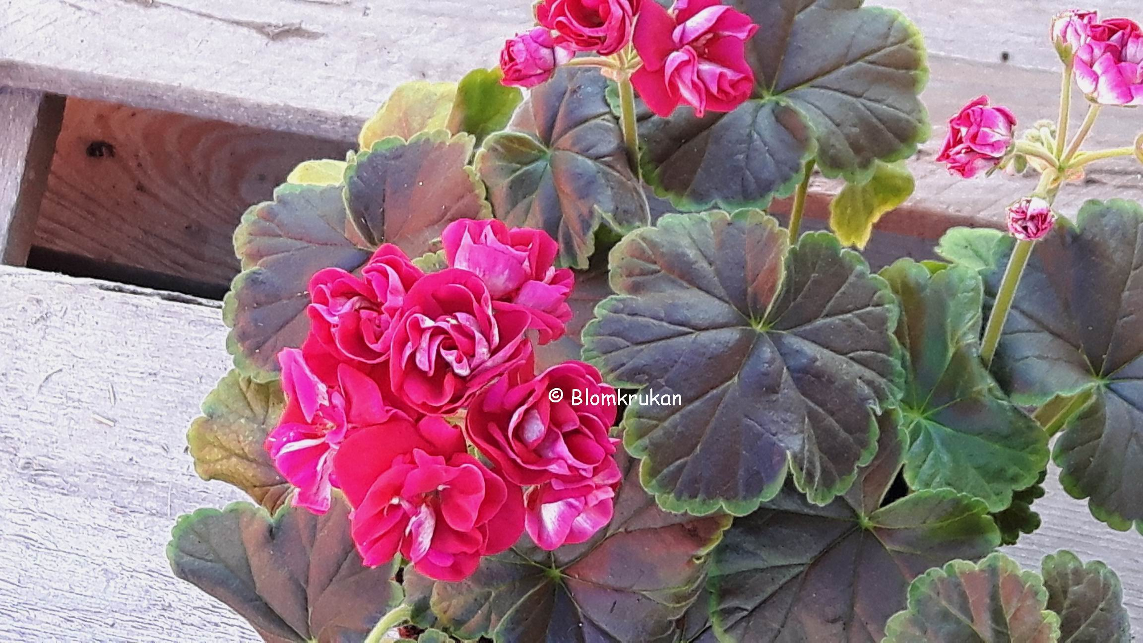 Brocade CHERRY NIGHT en av årets pelargoner 2019