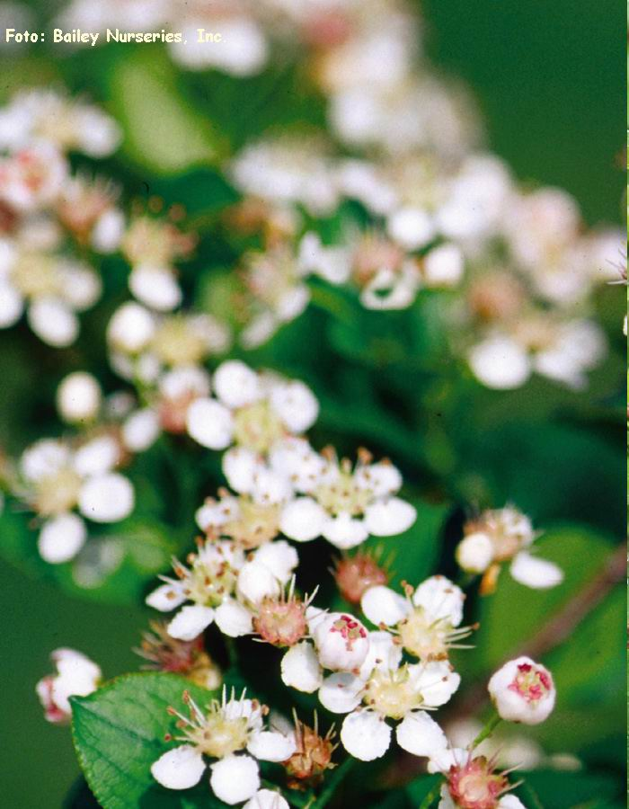 Aronia SVARTARONIA Hugin