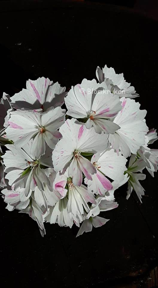 Pelargon FRÖ MIX