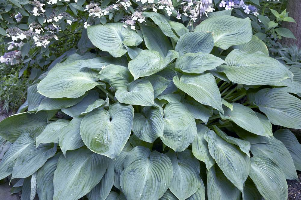 Hosta - Funkia Blue Angel  H�jd 100-120